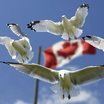 Birds flying Canada flag