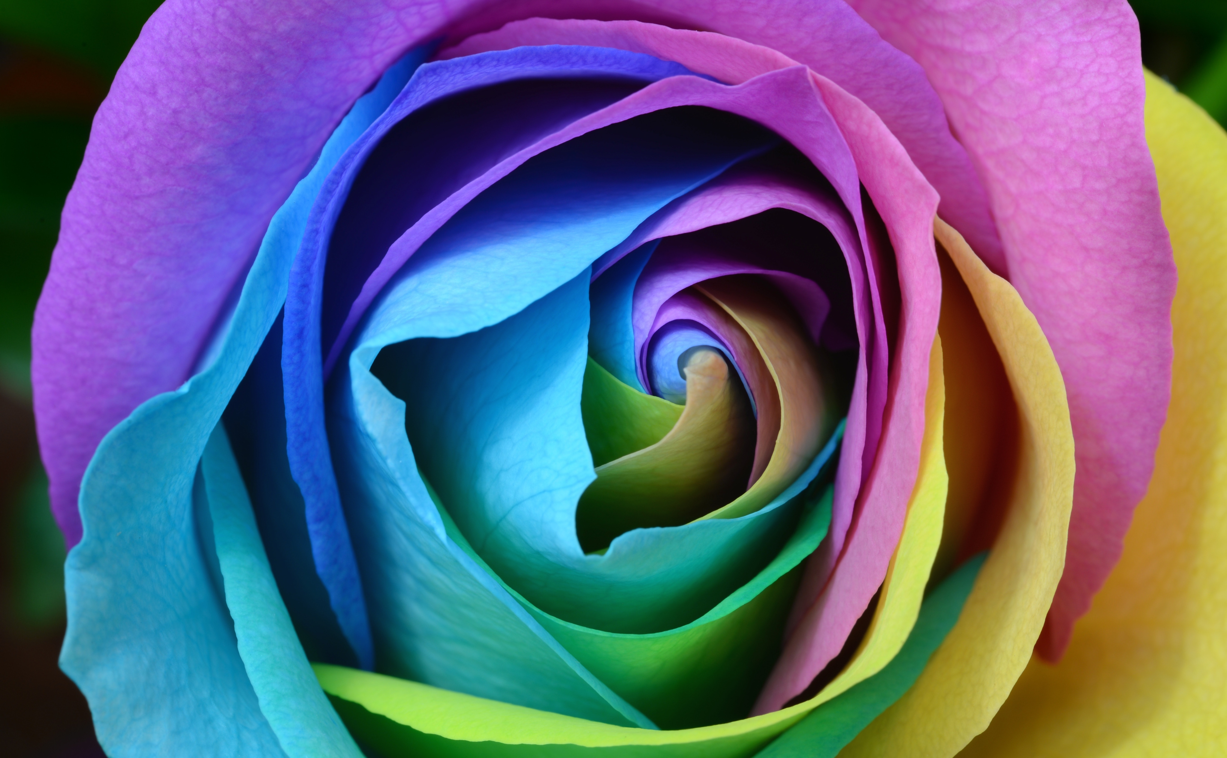 Rose Multicoloured